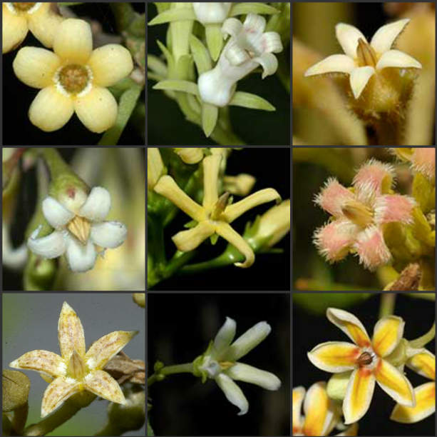 A selection of Silkpod flowers
